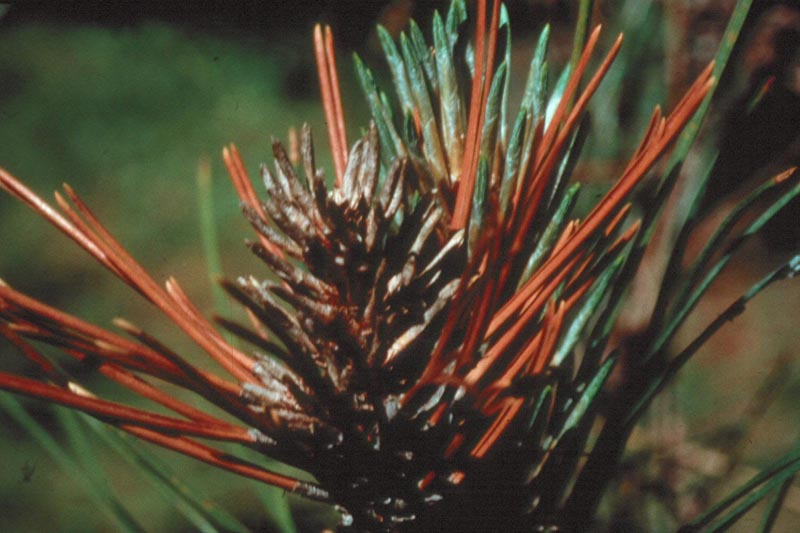 Diplodia tip blight (<em>Sphaeropsis sapinea</em>) - Buds and needles of an Austrian pine killed by <em>Sphaeropsis sapinea</em>, the causal agent of Diplodia tip blight.
