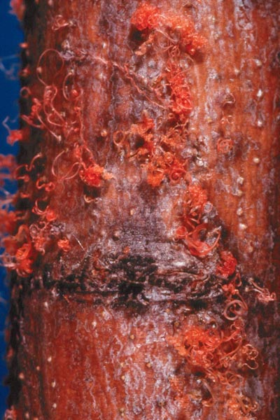 Cytospora canker