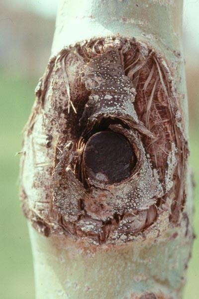 Cytospora canker - Cytospora canker on aspen, caused by <em>Valsa sordida</em>.