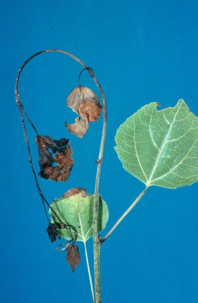 Leaf and shoot blight of aspen (<em>Venturia macularis</em>)